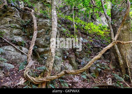 Twisted Liana croissant dans la forêt, Minnamurra Rainforest Center, New South Wales, NSW, Australie Banque D'Images