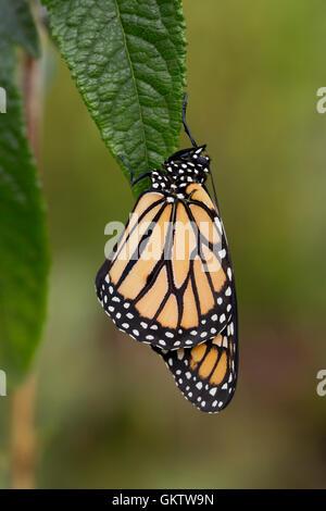 Papillon Monarque Danaus plexippus; seule la feuille sur UK Banque D'Images