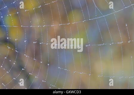 Spider web avec de l'eau descend dans la forêt Banque D'Images