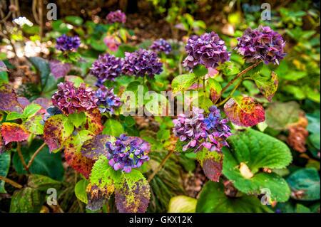 Fleurs d'hortensias colorés au jardin botanique de Wellington, Nouvelle-Zélande Banque D'Images