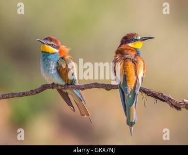 Deux des guêpiers d'Europe (Merops apiaster) perché sur une branche