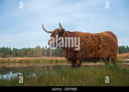 Highland cattle impressionnant / Schottisches Hochlandrind ( Bos primigenius taurus ) dans l'habitat naturel, Moor, Banque D'Images