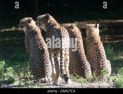 Mère Guépard (Acinonyx jubatus) avec trois oursons adolescents, rétroéclairé.dans le soleil du soir Banque D'Images