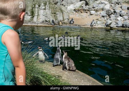 Enfant à la captive de pingouins de Humboldt (Spheniscus humboldti) indigène au Chili et au Pérou au zoo en été
