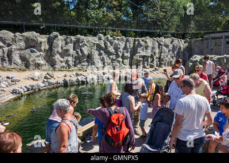 Les visiteurs qui cherchent à Humboldt en captivité manchots (Spheniscus humboldti) indigène au Chili et au Pérou au zoo en été