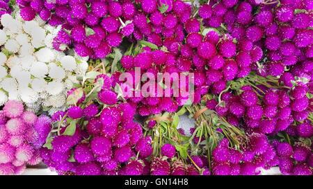 Globe amarante fleurs de beauté. Banque D'Images