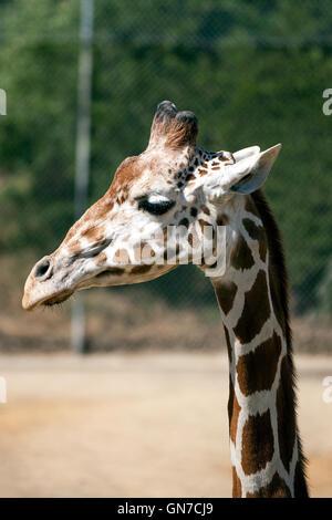 Giraffe réticulée (Giraffa camelopardalis reticulata), Oakland Zoo, Oakland, Californie, États-Unis d'Amérique