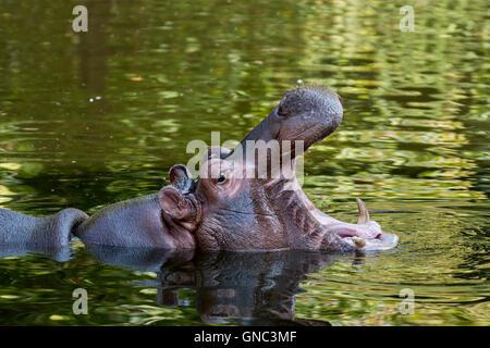 Close up d'Hippopotame (Hippopotamus amphibius) dans l'étang de bâiller et montrant les dents dans la bouche ouverte Banque D'Images