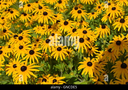 Black Eyed Susan fleurs dans un jardin Banque D'Images