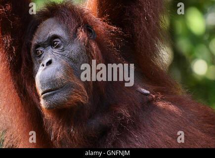 Portrait d'une femelle orang-outang. Banque D'Images