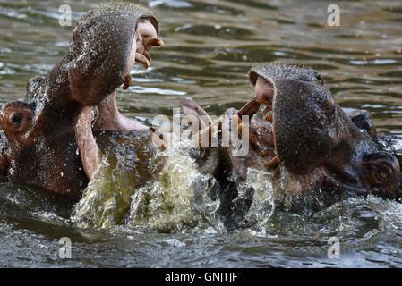 Madrid, Espagne. Août 30, 2016. Deux photo d'hippopotame jouer au zoo de Madrid.L'Hippopotame (Hippopotamus amphibius), Banque D'Images