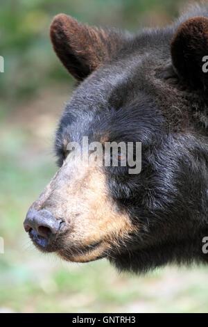 Ours noir, Ursus americanus, au popcorn Park Zoo Animal Rescue, sanctuaire de la rivière fourchue, New Jersey, USA