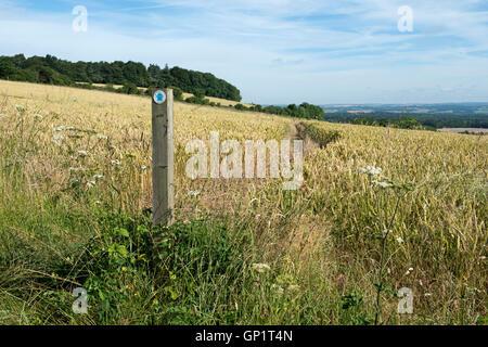 Sentier signe et couper le chemin par étapes d'un champ de blé d'hiver sur le North Wessex Downs à la fin de juillet Banque D'Images