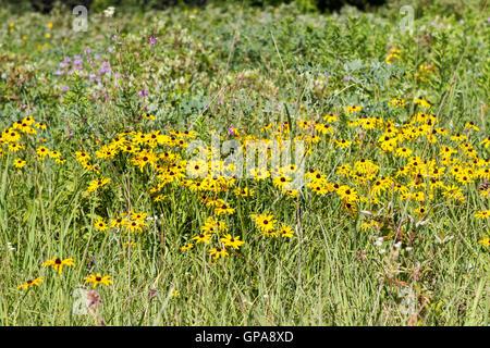 Fleurs sauvages dans la prairie avec susans black eyed, chardon des champs, et l'herbe des prairies indigènes Banque D'Images