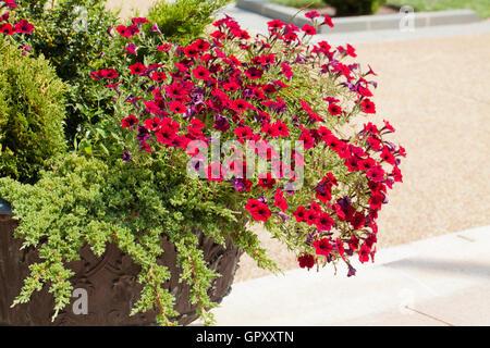 Verveine rouge fleur de jardin Banque D\'Images, Photo Stock ...