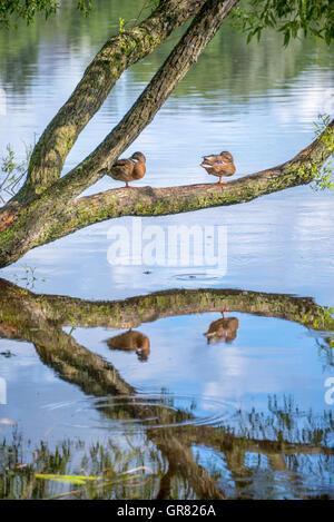 Canards dans l'étang de Holguin à Peterhof. Saint-pétersbourg, Russie Banque D'Images