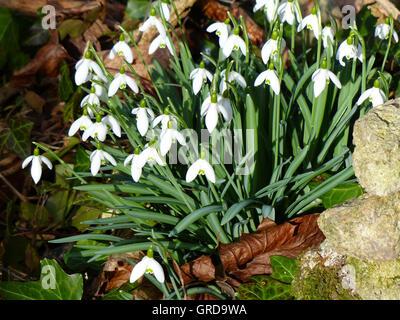 Fleurs de perce-neige, Galanthus nivalis Banque D'Images