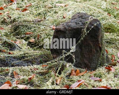 Cette beauté naturelle est autrement cachés. Les algues, les feuilles d'automne et une pierre dans l'Eiswoog déchargée Banque D'Images
