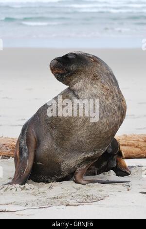 Lion de mer de Nouvelle-Zélande (Phocarctos hookeri) aussi connu comme un lion de mer de Hooker à phlébotome Bay,près Banque D'Images