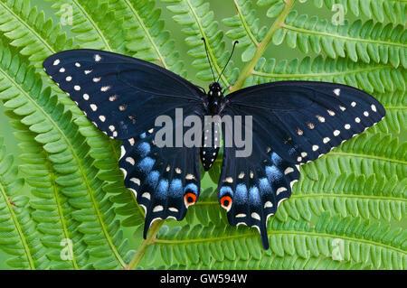 E. black swallowtail Butterfly Papilio polyxenes, femme, reposant sur l'Est des Etats-Unis, fougère