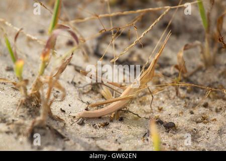 Acrida gris en attente sur le sable. Les insectes, le criquet pèlerin