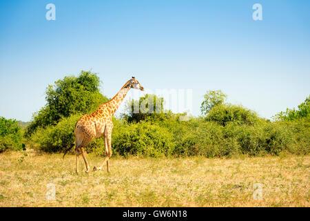 Girafe marche sur les plaines au fin fond de l'Afrique Banque D'Images