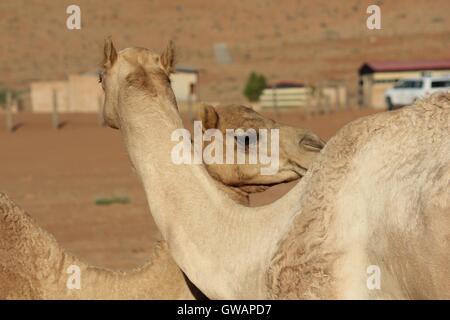 Chameau dans le désert. Image prise dans le désert Wahiba Sands omanais, le principal désert. Banque D'Images