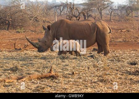 Rhinocéros blanc Ceratotherium simum adultes avec jeune bébé à côté de veau sur la garrigue ouverte en Afrique du Banque D'Images