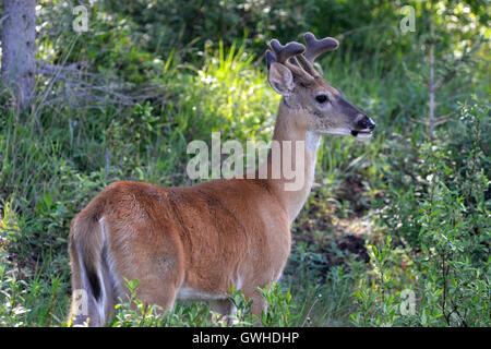 Le Cerf mulet - Odocoileus hemionus - jeune homme en velours Banque D'Images