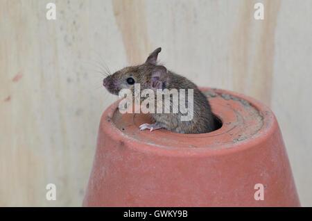 Souris adultes sortant d'un trou dans un pot de fleur UK Banque D'Images