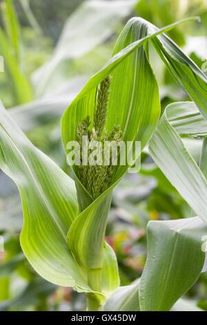 Zea mays. Les fleurs mâles sur des plantes de maïs. Banque D'Images