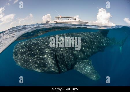 Grand requin-baleine (Rhincodon typus) passer en dessous de la surface de la mer, bateau à Isla Mujeres, Mexique