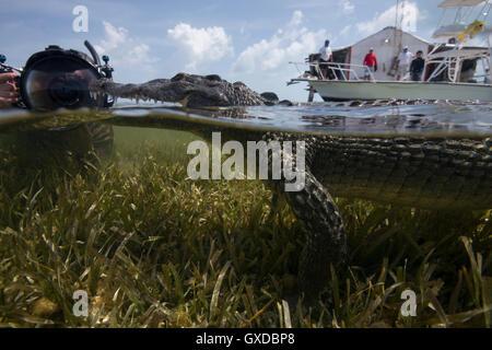 Photographe sous-marin près d'un américain au repos croc (Crocodylus acutus) au Mexique, les banques Chinchorro