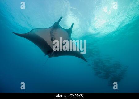 Manta Ray en bleu de l'eau à Socorro Îles Revillagigedo au Mexique. Banque D'Images