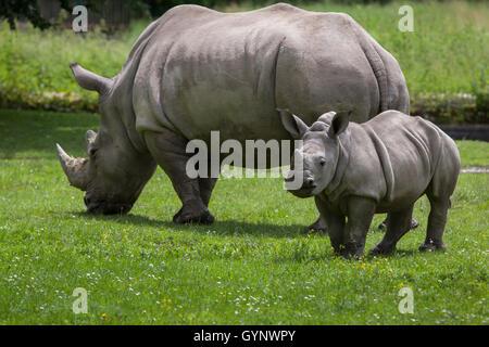 Rhinocéros blanc du sud (Ceratotherium simum simum). Rhino femelle avec son nouveau-né au zoo d'Augsbourg en Bavière, Banque D'Images