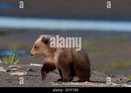 Cub ours brun (Ursus arctos) walking on beach in Lake Clark National Park, Alaska Banque D'Images