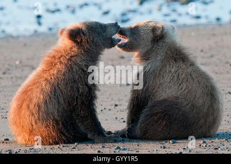Ours brun (Ursus arctos) Oursons jouant dans Lake Clark National Park, Alaska Banque D'Images