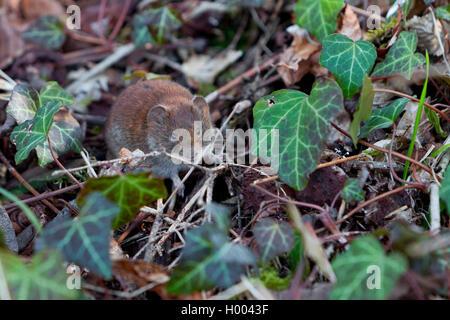 Campagnol des champs (Microtus arvalis), à même le sol forestier entre ivy, Allemagne Banque D'Images