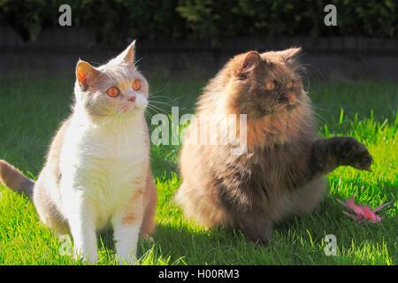 British Longhair, Highlander, Lowlander (Felis silvestris catus) f., 4 ans chat British Shorthair lilas blanc en couleur tortie assis ensemble avec un trois ans British Longhair cat en chocolat tortie dans un pré