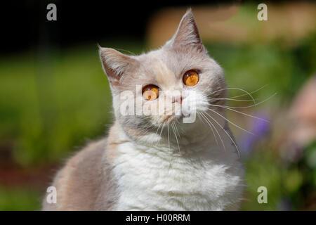 British Shorthair (Felis silvestris catus) f., 4 ans chat British Shorthair lilas tortie blanc, portrait Banque D'Images