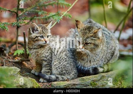 Chat Sauvage Européen, forêt wildcat (Felis silvestris silvestris), mère avec son chaton assis sur une pierre moussue, Banque D'Images