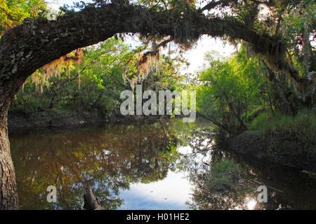 Old man's beard, mousse espagnole (Tillandsia usneoides), sous bois, USA, Floride, Myakka National Park Banque D'Images