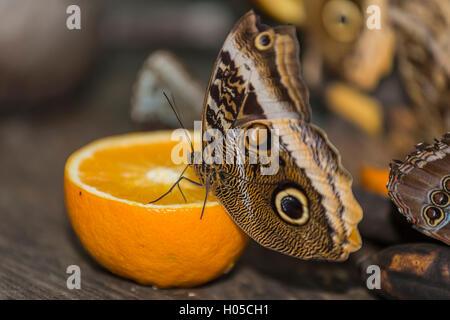 Helena Morpho Morpho helenor (carillesis) à orange Banque D'Images