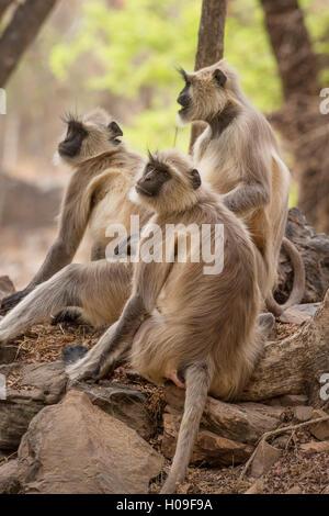 Langur monkey, Ranthambhore National Park, Rajasthan, Inde, Asie Banque D'Images