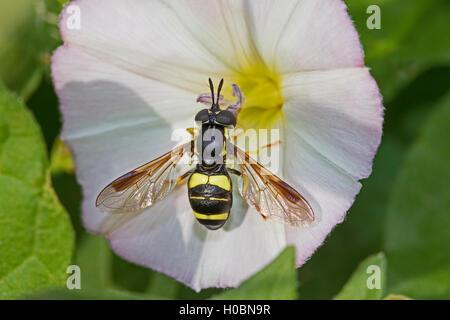 Hoverfly (Chrysotoxum bicinctum) se nourrissant de liseron des champs