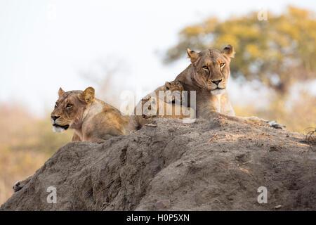 Vue panoramique d'une troupe de lions couchés sur une termitière avec deux lionnes et deux oursons