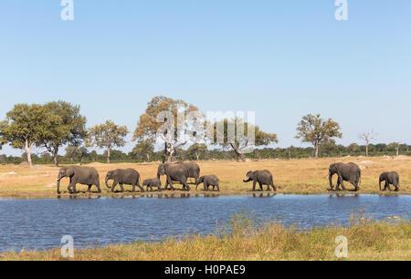 Troupeau d'éléphants (Lozodonta Africana) dirigé par une matriarche marche dans un bois avec un étang au premier Banque D'Images