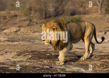 Mâle adulte lion (Panthera leo) marche sur un bloc de granite exposés