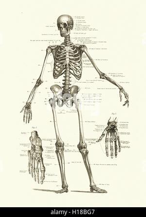 Squelette humain, montrant les os du corps Banque D'Images
