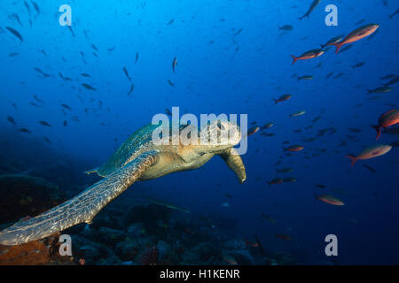 Tortue verte, Chelonia mydas, Wolf Island, Galapagos, Equateur Banque D'Images